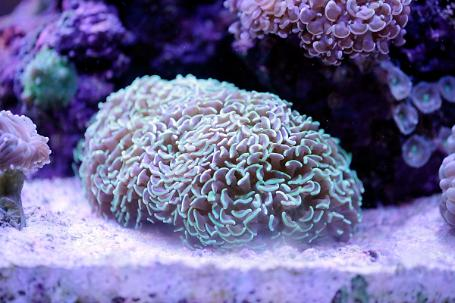 Green Hammer / Anchor Coral