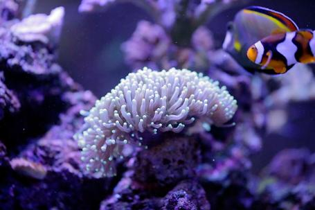 Green Tipped Torch Coral