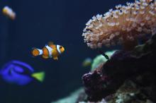Clown and Blue Tang.