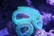 Green Acan Brain Coral