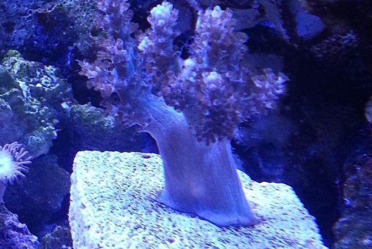 Neon Pineapple Tree Coral