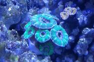 Purple Green Acan Brain Coral