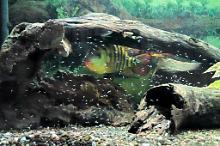 Arch's Cichlid Tank Thumbnail