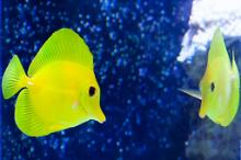 Yellow Tang Reflection