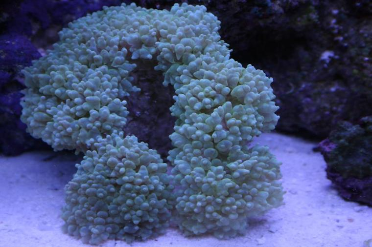 Bubble Coral Green Thumbnail