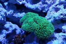 Hammer / Anchor Coral