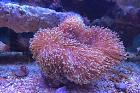 Leather Coral Thumbnail