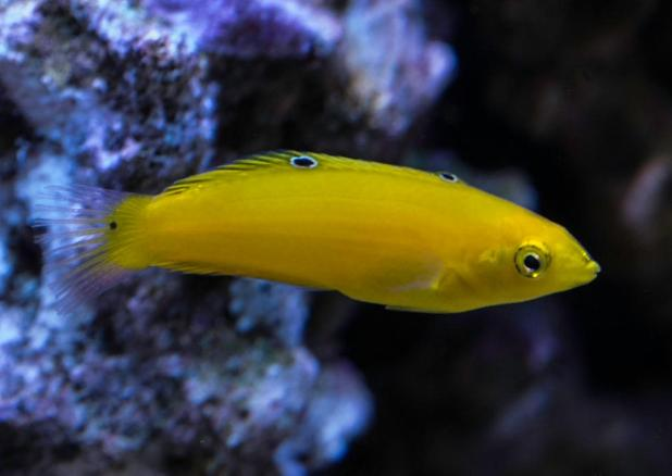 Yellow Wrasse
