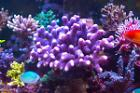 Purple Stylophora Coral Thumbnail