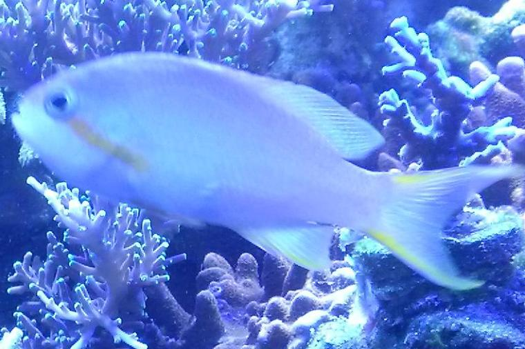 Green Anthias Thumbnail