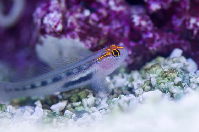 Red Head Goby Thumbnail