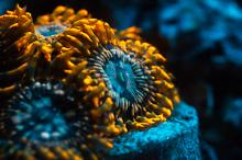 Utter Chaos Zoanthids - October 2015
