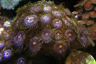 Morning Glory Zoa