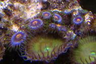 bluberry fields Zoas
