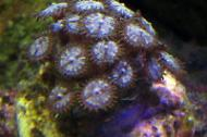 Yellow face Zoas