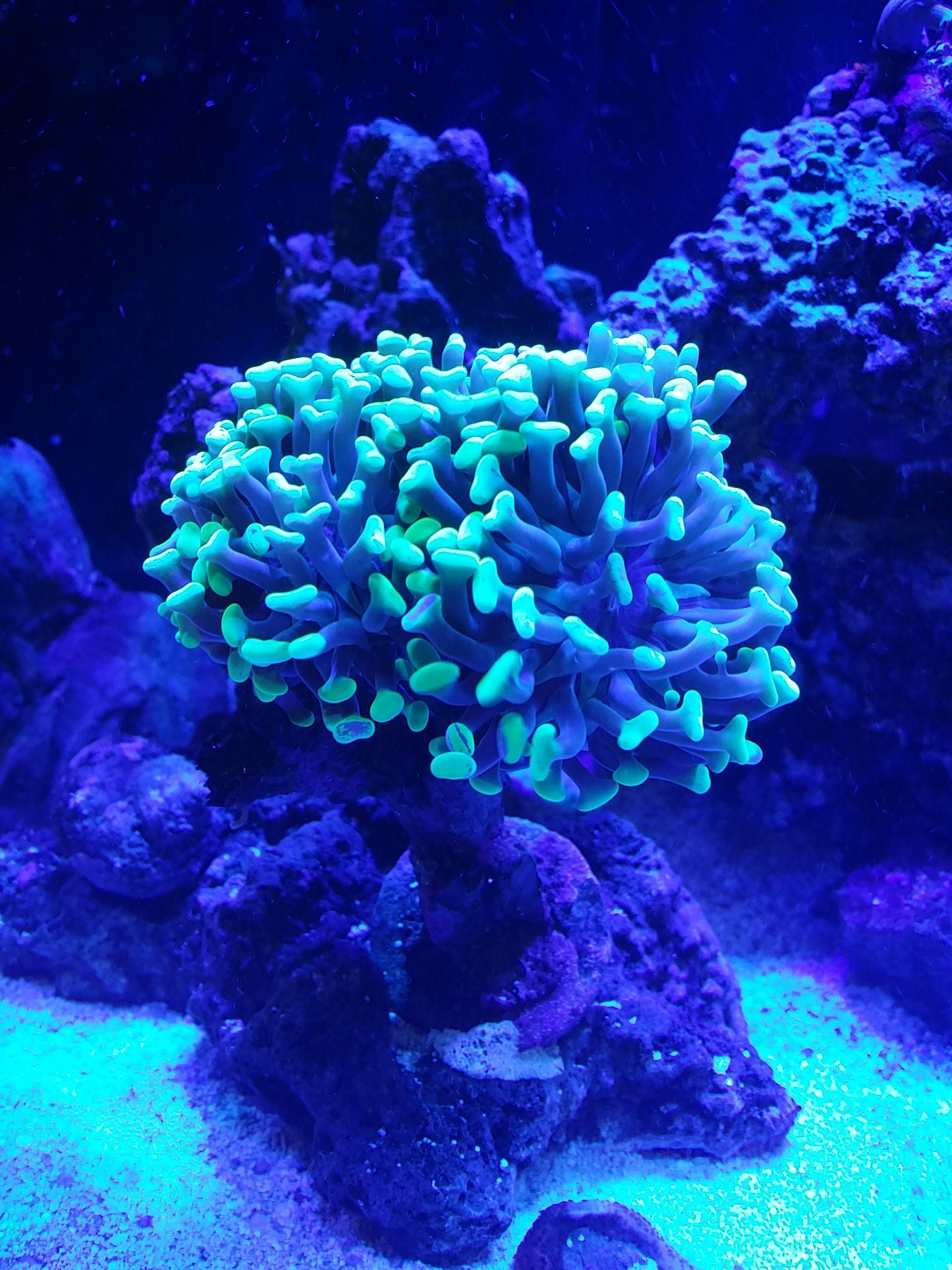 Hammer / Anchor Coral, Branching (Glowing Green/Yellow Tip)