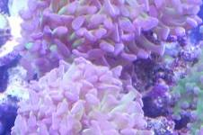 Hammer Anchor Coral Branching Green and Purple Thumbnail