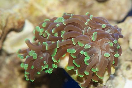 branching torch coral