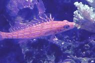 Long nose hawkfish