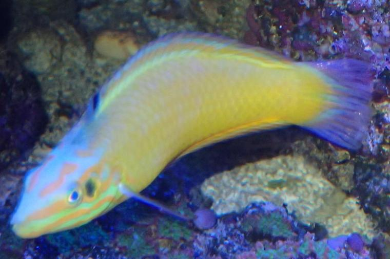 Yellow Coris Wrasse Thumbnail