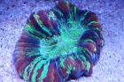 Folded Brain Coral