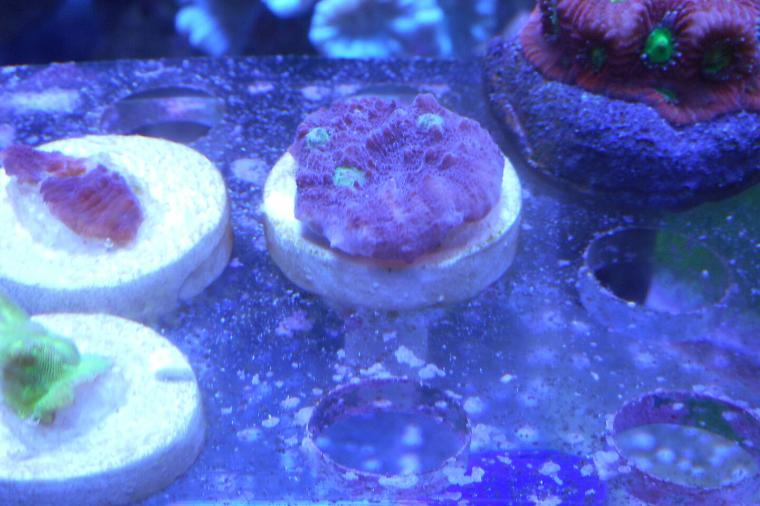 Chalice Coral Blue Thumbnail