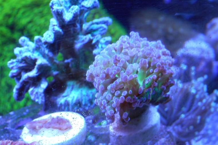 Green and Purple Frogspawn Thumbnail