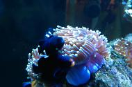 Midnight Ocellaris Clownfish