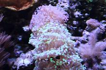 Purple Branching Hammer Coral