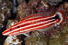 Candy Cane Hogfish Thumbnail
