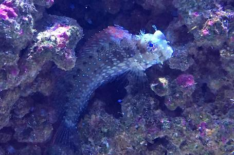 Sailfin/Algae Blenny Thumbnail