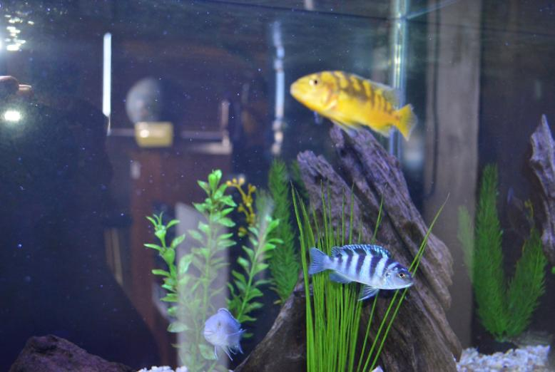 Cichlids Tropical