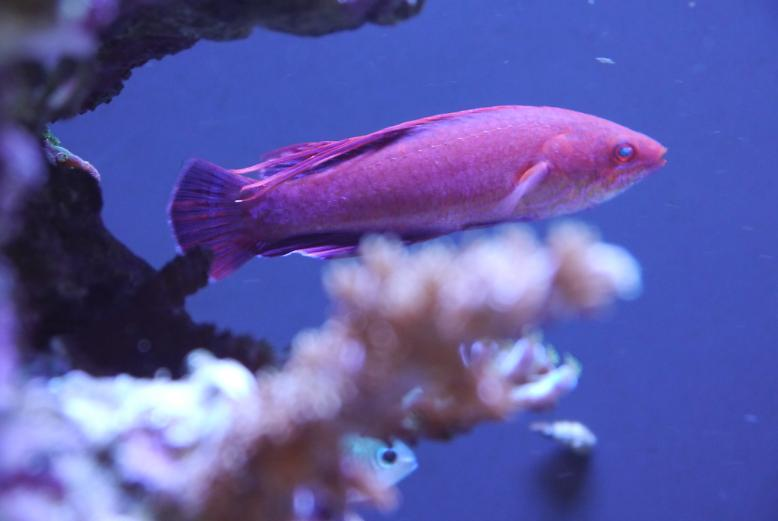 Linespot Flasher Wrasse