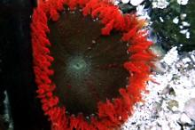 Red Rock Anemone