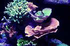Red Plating Montipora Thumbnail