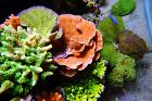 Green Encrusting Montipora with Black Polyps Thumbnail