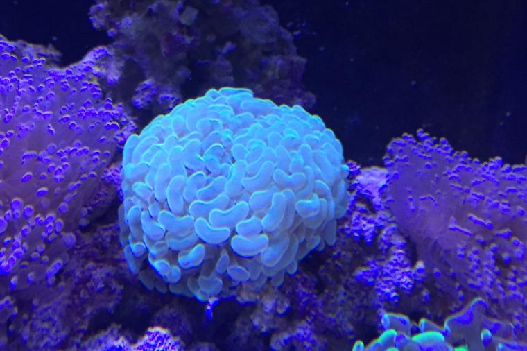 Hammer Anchor Coral Branching Thumbnail