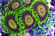 Scrambled Eggs Zoas