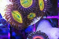 Armor of God (Zoanthid)