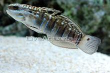 Banded Sleeper Goby