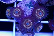 Orange Smoothies Zoas