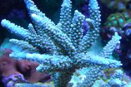 Staghorn Acropora