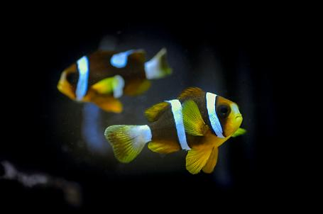 Barrier Reef Clownfish Thumbnail