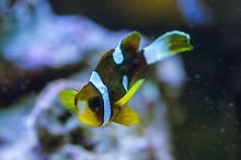 Male Clownfish Sept. 17, 2016 - Arrived in poor condition
