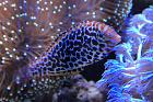 Blue Star Leopard Wrasse Thumbnail