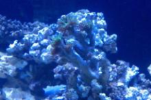 Hammer / Anchor Coral, Branching