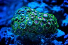 FIrst Coral in..  mixed zoa
