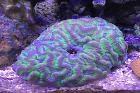 Lesser Valley Brain Coral Fluor Green Thumbnail
