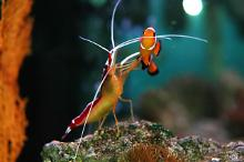 cleaning shrimp