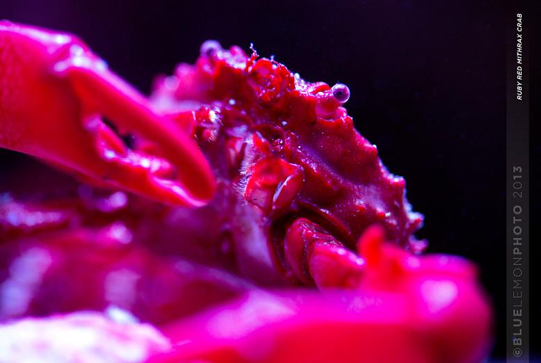 Ruby Red Mithrax Close Up